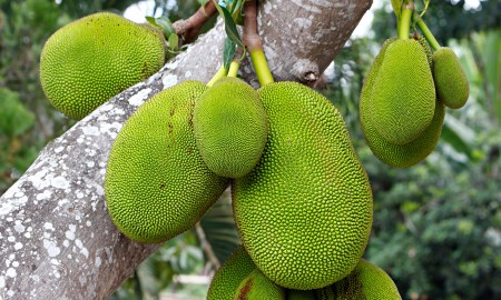 Jackfruit is native to India, Bangladesh, Sri Lanka and the Philippines.